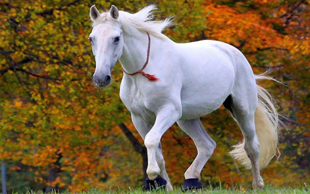 white horse Running set for war