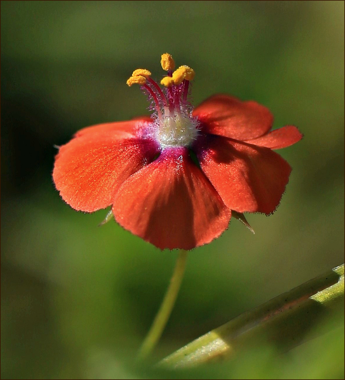 the waning scarlet pimpernel